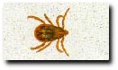 Brown Dog Tick